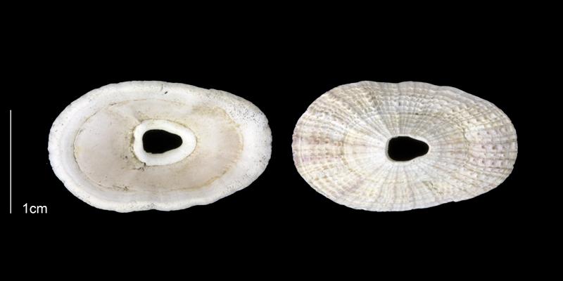 <i>Lucapinella limatula</i> from the Late Pliocene Tamiami Fm. (Pinecrest Beds) of Sarasota County, Florida (PRI 70085).