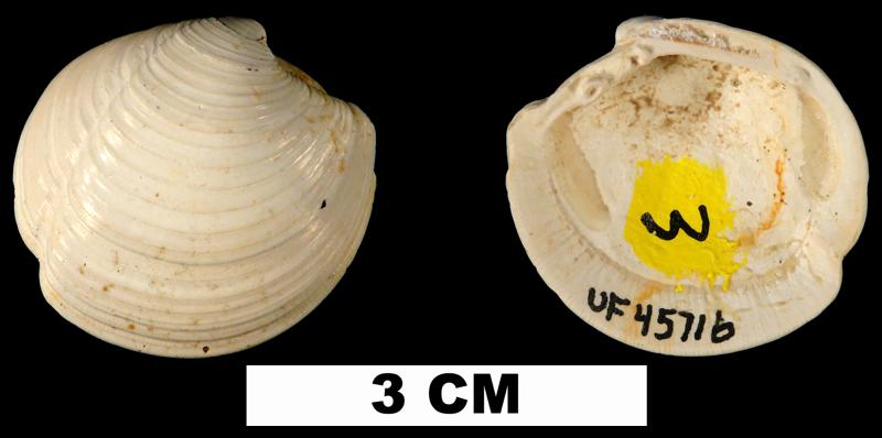 <i>Lucina glenni</i> from the Shoal River Fm. of Walton County, Florida (UF 45716).