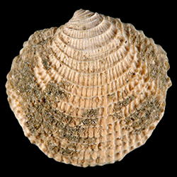 Lucinisca calhounensis