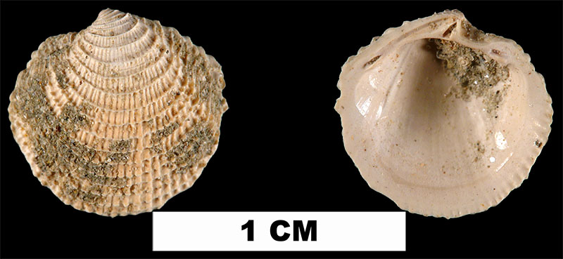 <i>Lucinisca calhounensis</i> from the Early Miocene Chipola Fm. of Calhoun County, Florida (UF 205090).