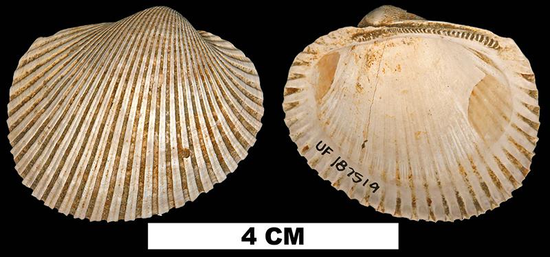 <i>Lunarca ovalis</i> from the Late Pleistocene Flanner Beach Fm. of Craven County, North Carolina (UF 187519).