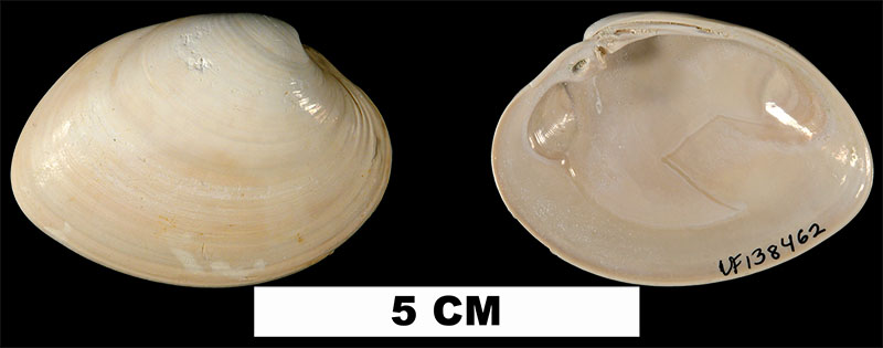 <i>Macrocallista maculata</i> from the Early Pleistocene Caloosahatchee Formation of Hendry County, Florida (UF 138462).