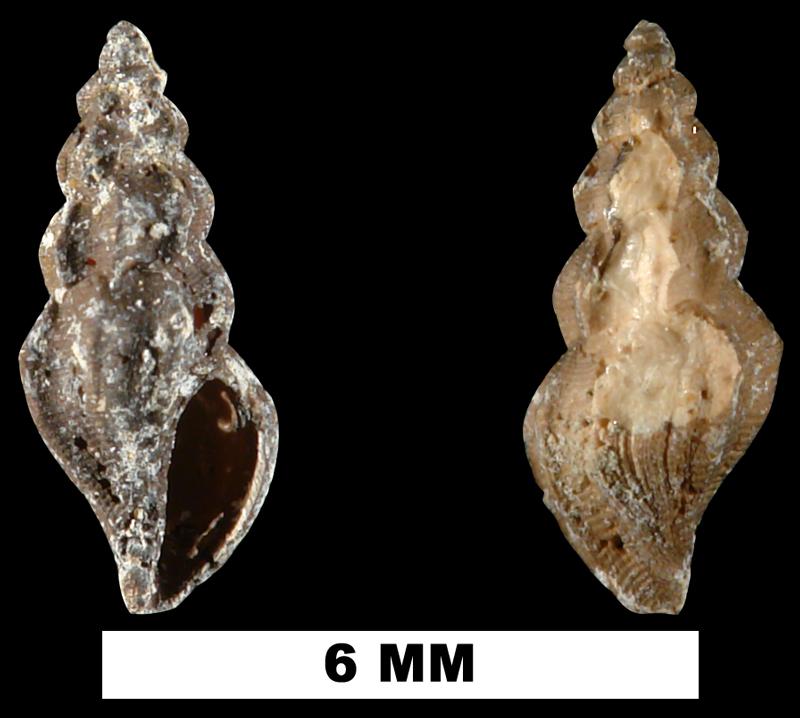 <i>Mangelia gardnerae</i> from the Late Pliocene Jackson Bluff Fm. of Leon County, Florida (UF 209432).
