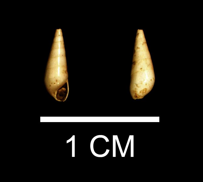 <i>Melanella laevigata</i> from the Late Pliocene Duplin Fm. of Wayne County, Georgia (SDSM 112170).
