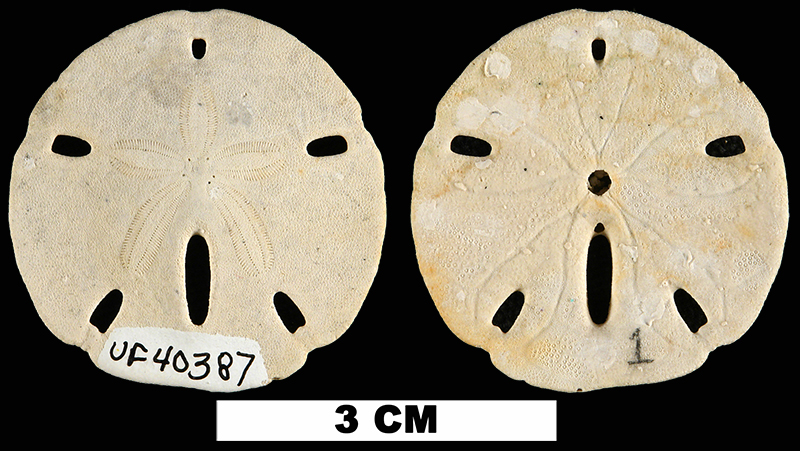 <i>Mellita aclinensis</i> from the Late Pliocene Tamiami Fm. (Bed 6) of Charlotte County, Florida (UF 40387).