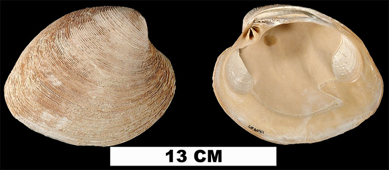 <i>Mercenaria campechiensis</i> from the Late Pliocene Tamiami Fm. of Miami-Dade County, Florida (UF 60411).