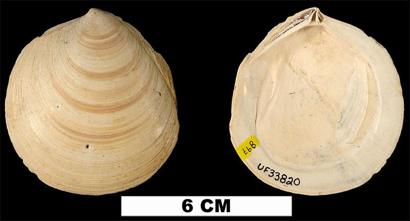 <i>Miltha caloosaensis</i> from the Plio-Pleistocene (formation unknown) of Sarasota County, Florida (UF 33820).