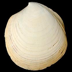 Miltha carmenae
