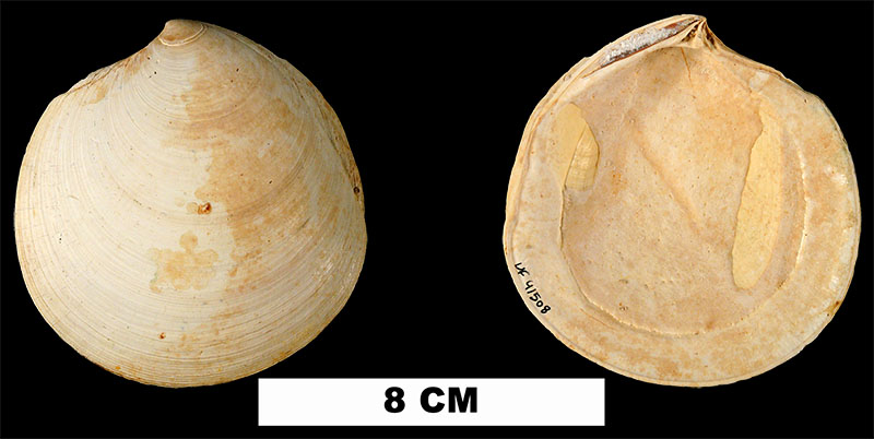<i>Miltha chipolana</i> from the Early Miocene Chipola Formation of Calhoun County, Florida (UF 41508).
