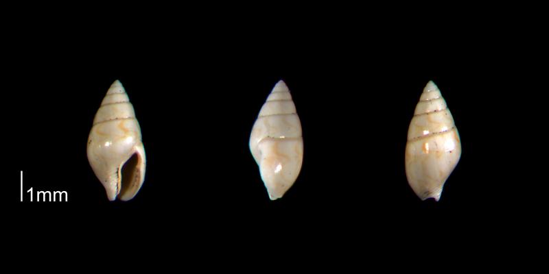 <i>Mitrella gardnerae</i> from the Early Pleistocene Waccamaw Fm. of Brunswick County, North Carolina (PRI 70446).
