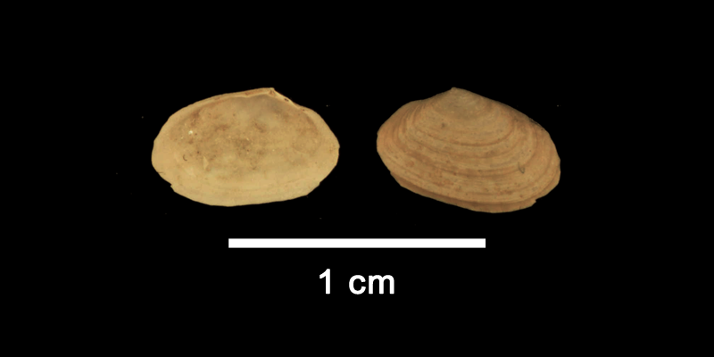 <i>Moerella dupliniana</i> from the Late Pliocene Yorktown Formation of Isle of Wight County, Virginia (SDSM 112650).