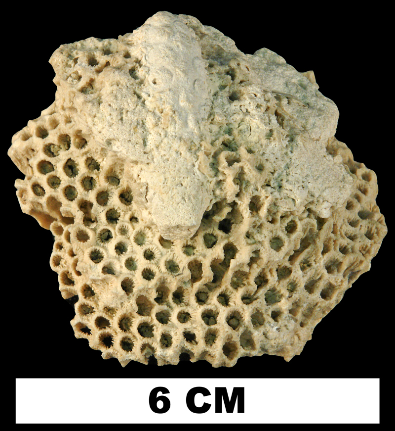 <i>Montastraea annularis</i> from the Late Oligocene to Early Miocene Arcadia Formation (Tampa Member) of Hillsborough County, Florida (UF 8276).