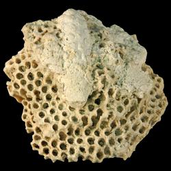 Montastraea annularis