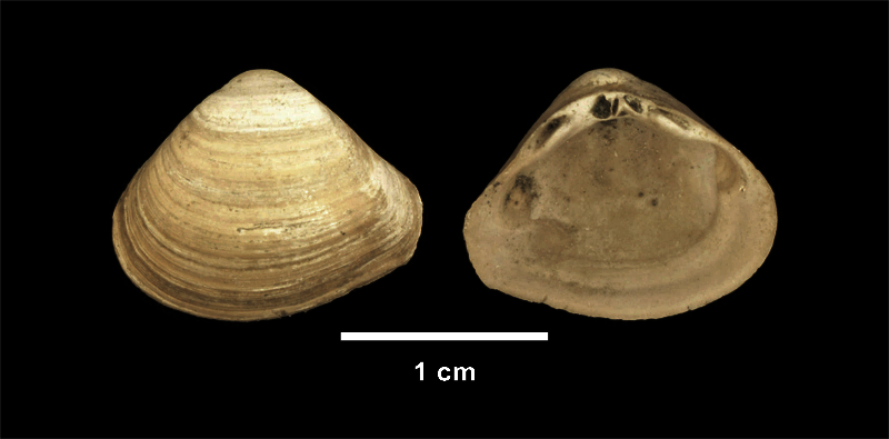 <i>Mulinia congesta</i> from the Late Pliocene Yorktown Fm. of Isle of Wight County, Virginia (SDSM 112635).