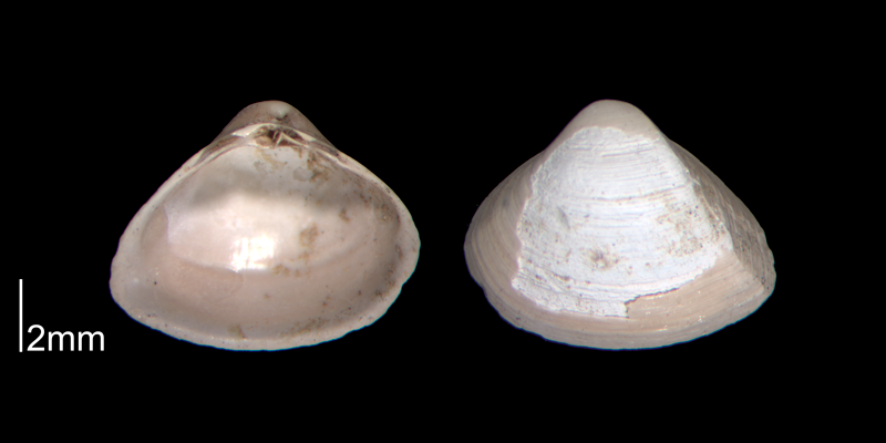 <i>Mulinia lateralis</i> from the Early Pleistocene James City Fm. of Beaufort County, North Carolina (PRI 70510).