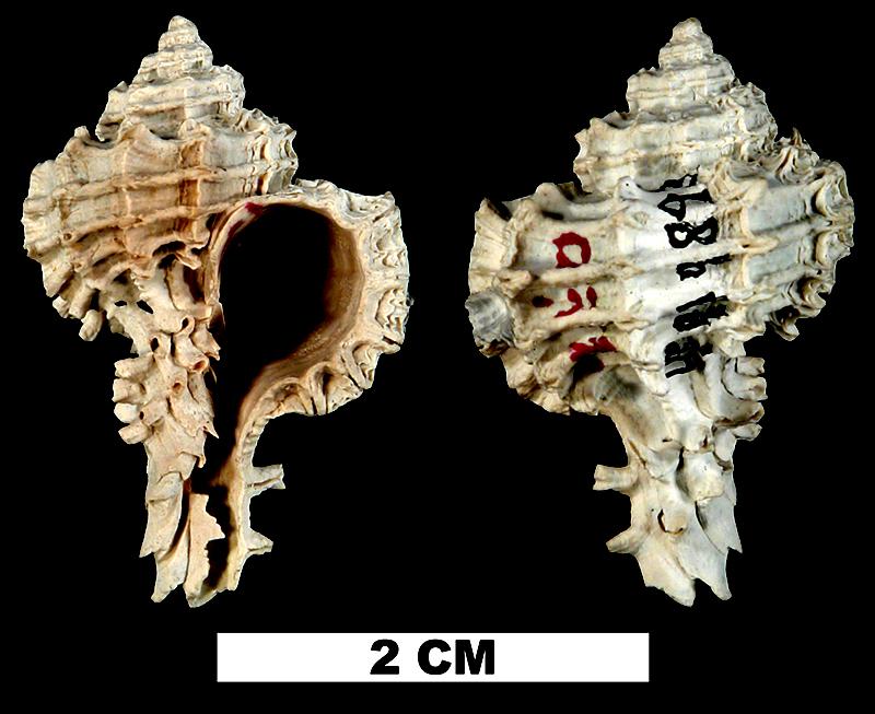<i>Favartia faceta</i> from the Late Pliocene Tamiami Fm. (Pinecrest Beds) of Okeechobee County, Florida (UF 119893).