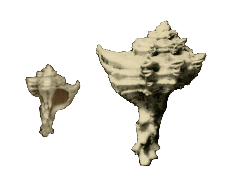 Specimen of <i>Favartia graceae</i> figured by McGinty (1940, pl. 10, fig. 2 and 2a); 22 mm in length. 2a is twice magnified.