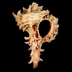 Favartia graceae