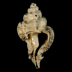 Favartia shilohensis