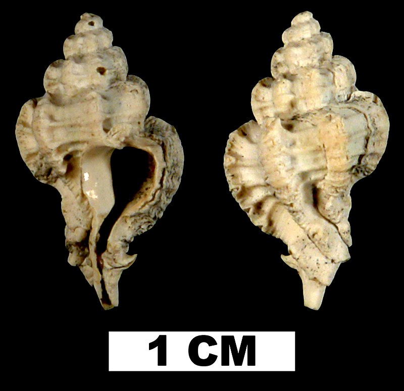 <i>Favartia shilohensis</i> from either the Late Pliocene Tamiami Fm. (Pinecrest Beds) or Early Pleistocene Caloosahatchee Fm. of Okeechobee County, Florida (UF 118287).