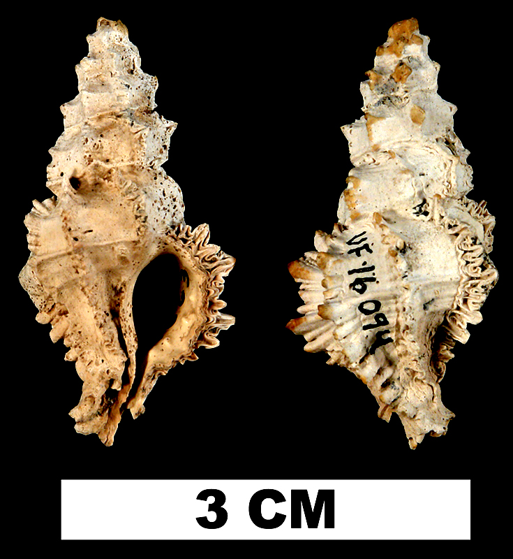 <i>Murexsul oxytatus</i> from the Late Pliocene Tamiami Fm. (Pinecrest Beds) of Sarasota County, Florida (UF 16094).