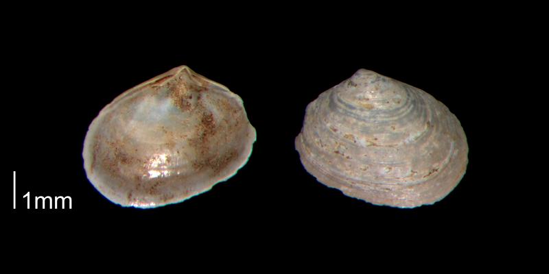 <i>Mysella beaufortensis</i> from the Early Pleistocene James City Fm. of Beaufort County, North Carolina (PRI 70531).