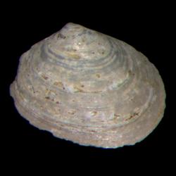 Mysella beaufortensis