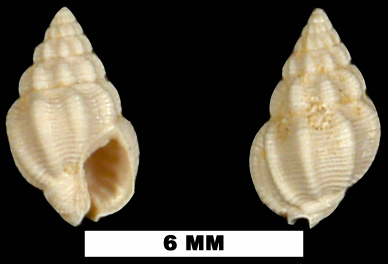 <i>Nassarius anisonema</i> from the Early Miocene Chipola Fm. of Calhoun County, Florida (UF 74261).