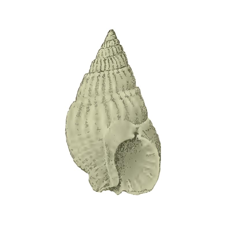 Specimen of <i>Nassarius berthae</i> figured by Maury (1910, pl. 5, fig. 7); 13 mm in length.