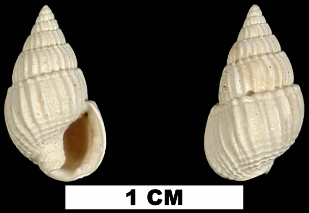 <i>Nassarius berthae</i> from the Early Miocene Oak Grove Sand of Okaloosa County, Florida (UF 72440).