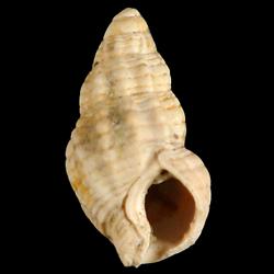 Nassarius cornellianus