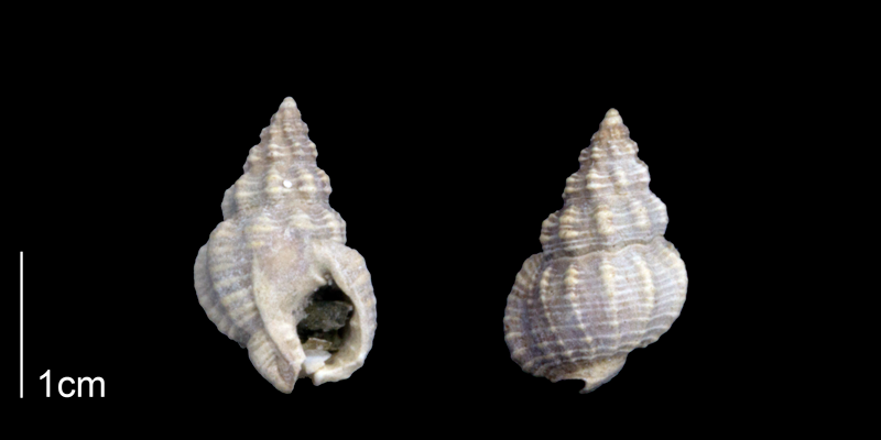 <i>Nassarius locklini</i> from the Late Pliocene Tamiami Fm. (Pinecrest Beds) of Sarasota County, Florida (PRI 70283).