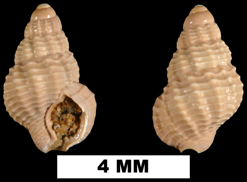 <i>Nassarius nanna</i> from the Middle Miocene Shoal River Formation of Walton Count, Florida (UF 68071).