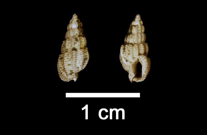 <i>Nassarius quadrulatus</i> from the Late Pliocene Yorktown Fm. of Isle of Wight County, Virginia (SDSM 112576).