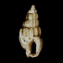 Nassarius quadrulatus