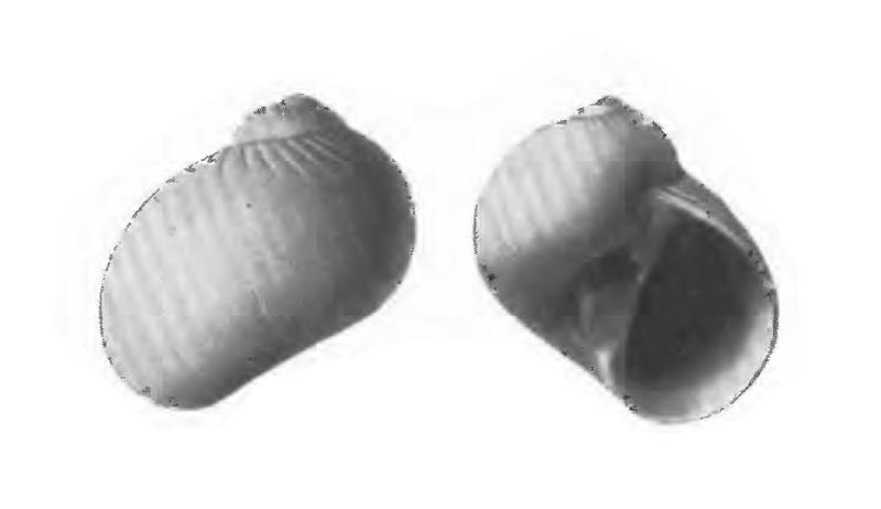 Specimen of <i>Natica precursor</i> figured by Gardner (1947, pl. 59, fig. 1 and 2); 11.5 mm in length.