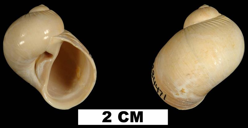 <i>Natica precursor</i> from the Early Miocene Chipola Fm. of Calhoun County, Florida (UF 234471).