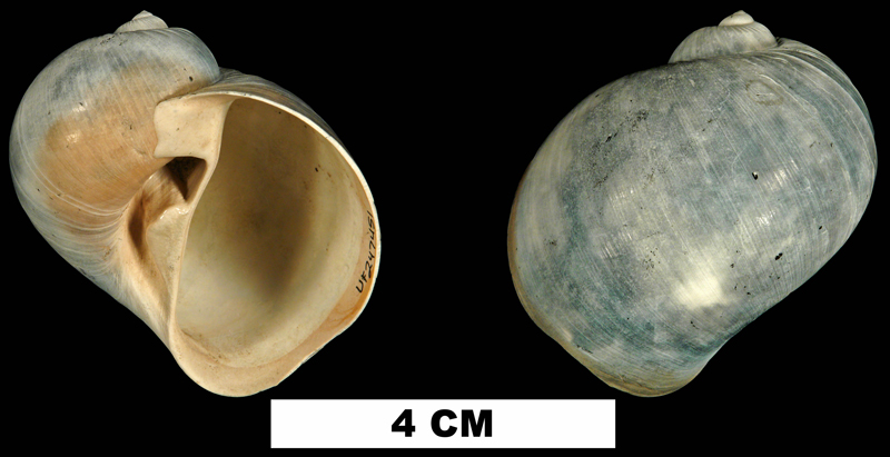 <i>Naticarius plicatella</i> from the Late Pliocene Tamiami Fm. (Pinecrest Beds) of Sarasota County, Florida (UF 247451).