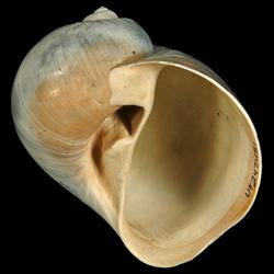 Naticarius plicatella