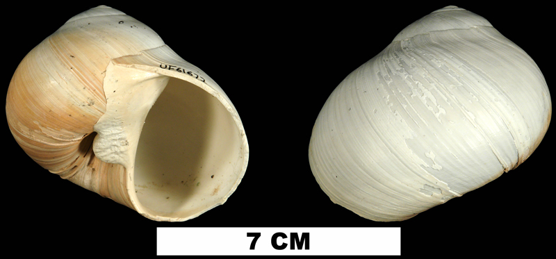 <i>Neverita duplicata</i> from the Late Pliocene Tamiami Fm. (Pinecrest Beds) of Sarasota County, Florida (UF 61672).