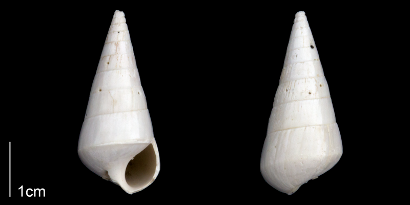 <i>Niso willcoxiana</i> from the Late Pliocene Tamiami Fm. (Pinecrest Beds) of Sarasota County, Florida (PRI 70278).