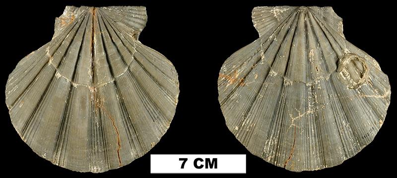<i>Nodipecten collierensis</i> from the Late Pliocene Tamiami Fm. (Ochopee Limestone) of Collier County, Florida (UF 221889).