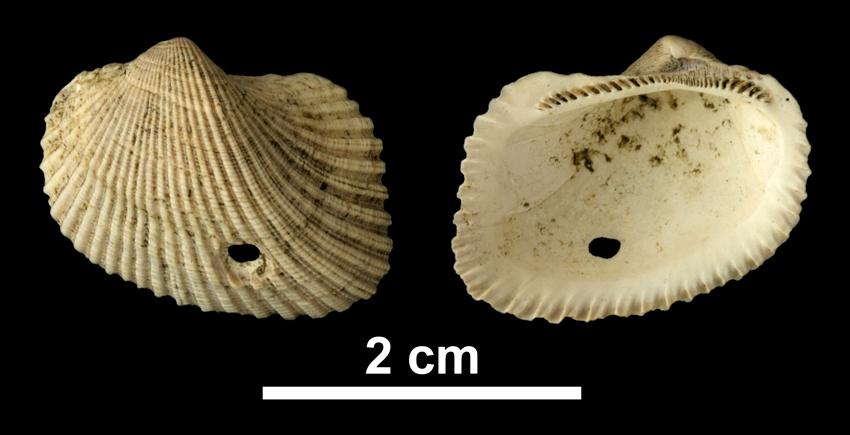 <i>Noetia limula</i> from the Early Pleistocene Waccamaw Fm. of Brunswick County, North Carolina (PRI 69935).