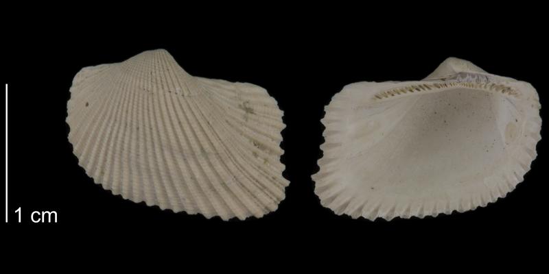 <i>Noetia limula</i> from the Early Pleistocene Waccamaw Fm. of Brunswick County, North Carolina (PRI 70502).