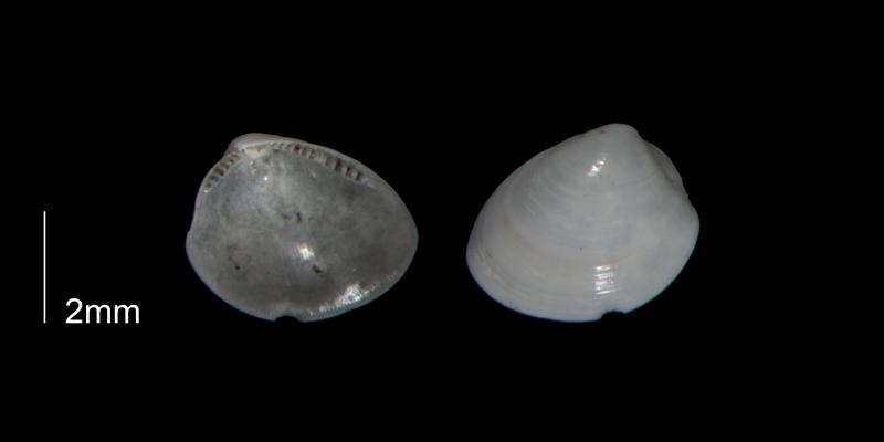 <i>Nucula proxima</i> from the Early Pleistocene Waccamaw Fm. of Brunswick County, North Carolina (PRI 70425).