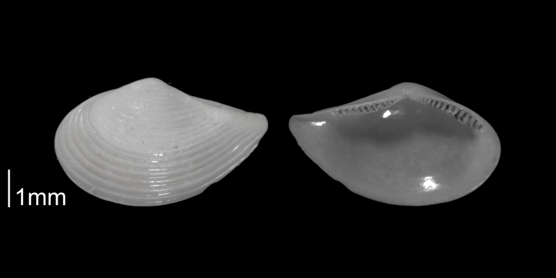 <i>Nuculana acuta</i> from the Early Pleistocene Waccamaw Fm. of Brunswick County, North Carolina (PRI 70398).