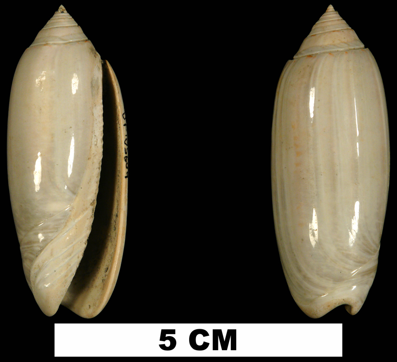 <i>Americoliva carolinensis</i> from the Early Pleistocene Waccamaw Fm. of Brunswick County, North Carolina (UF 185604).