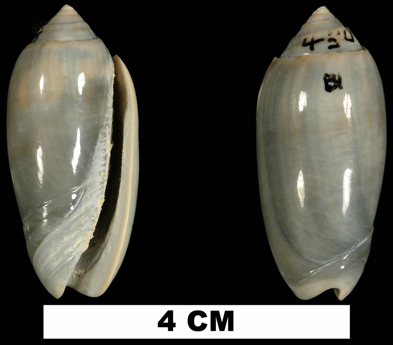 <i>Americoliva edwardsi</i> from the Plio-Pleistocene (stratigraphic position unknown) of Palm Beach County, Florida (UF 219711).
