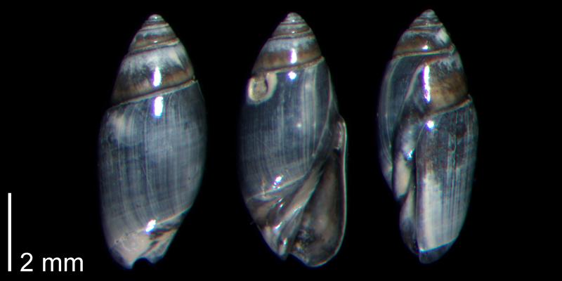 <i>Olivella mutica</i> from the Early Pleistocene James City Fm. of Beaufort County, North Carolina (PRI 70496).