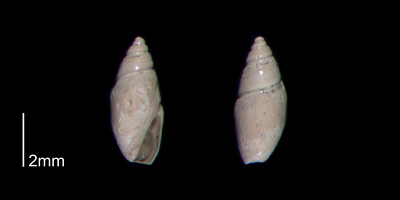 <i>Olivella mutica</i> from the Early Pleistocene James City Fm. of Beaufort County, North Carolina (PRI 70501-2).
